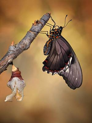 Birth Of A Swallowtail Art Print