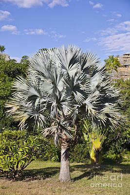 Photograph - Bismarck Palm  Bismarckia Nobilis by Liz Leyden