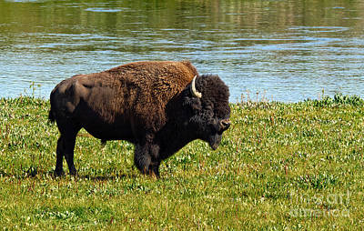 Photograph - Bison Along The Yellowstone by Stuart Gordon
