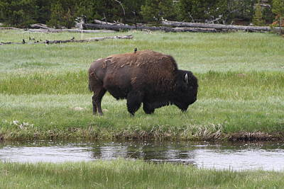 Kim Baker Photograph - Bison And Bird by Kim Baker
