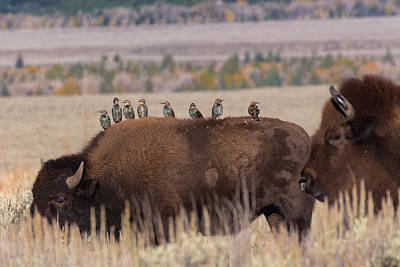 Starlings Photograph - Bison And Buddies by Kathleen Bishop