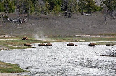 National Parks Photograph - Bison And Calfs Crossing River In Yellowstone National Park by Shawn O'Brien