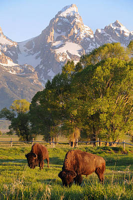 Animals Photograph - Bison And Grand Teton by Aaron Spong