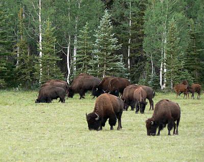 Bison At North Rim Art Print