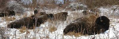 Photograph - Bison At Rest by David Dunham