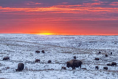 Photograph - Bison At Sunset by Rob Graham