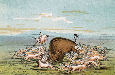Bison Drawing - Bison Attacked By Coyotes          Date by Mary Evans Picture Library