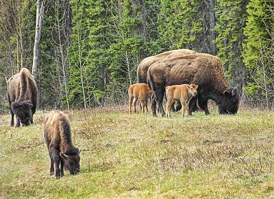 Photograph - Bison Babies by Dyle   Warren