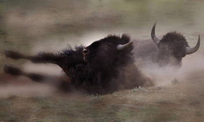 Photograph - Bison Bath by Joseph G Holland