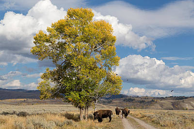 Photograph - Bison Beneath A Cottonwood by Kathleen Bishop