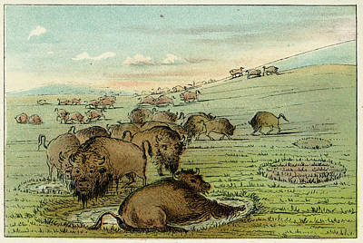 Bison Drawing - Bison Bison American Bison Bathing by Mary Evans Picture Library