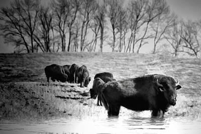 Bison Digital Art - Bison Black And White Southern Alberta by Diane Dugas