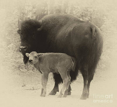 Photograph - Bison by Bob Christopher