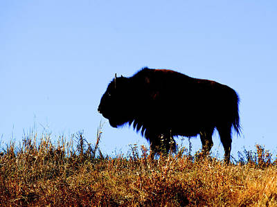 Bison Bull In Silhouette In Lamar Print by Richard Wright