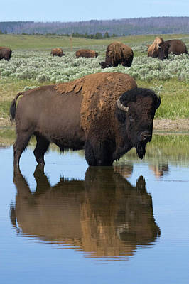 Bison Bull Reflecting Art Print by Ken Archer