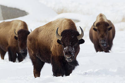 Bison Photograph - Bison Bulls, Winter by Ken Archer
