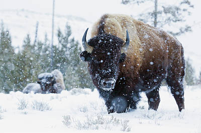 Bison Bulls, Winter Landscape Art Print by Ken Archer