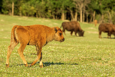 Theodore Photograph - Bison Calf At Theodore Roosevelt by Chuck Haney