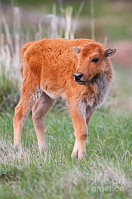 Photograph - Bison Calf by Bill Singleton