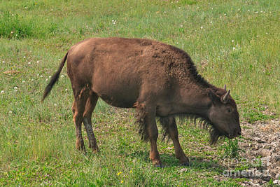 Photograph - Bison Calf Lunch by Charles Kozierok