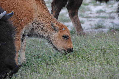 Photograph - Bison Calf by Robert  Moss