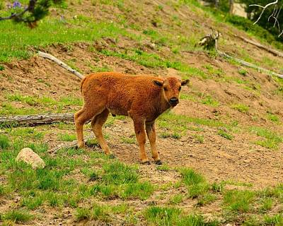 Photograph - Bison Calf by Walt Sterneman
