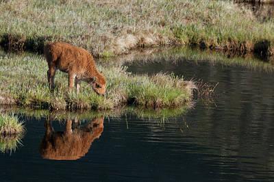 Bison Calf, Yellowstone National Park Art Print by Ken Archer