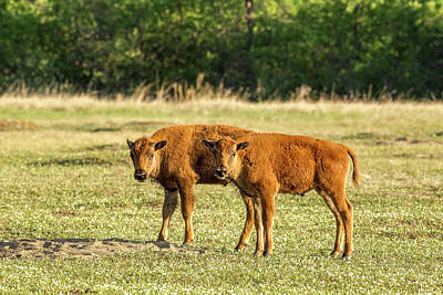 Bison Calves At Play In Theodore Art Print by Chuck Haney