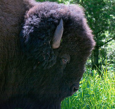Photograph - Bison Close Up by Michael Gooch