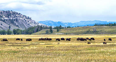 Photograph - Bison Feeding And Scenic View  by Betty  Pauwels