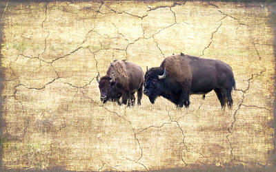 Photograph - Bison Feeding  by Betty  Pauwels
