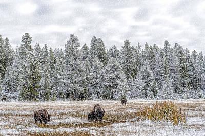 Bison Feeding In The Snow Print by Paul W Sharpe Aka Wizard of Wonders