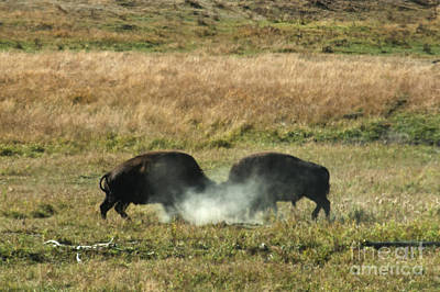 Butting Heads Photograph - Bison Fighting by Mark Newman