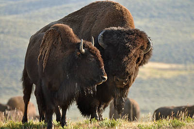 Bison Friends Art Print