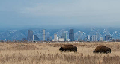 Denver Skyline Photograph - Bison Graze With Denver Colorado In The Background by Tony Hake