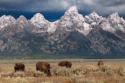 Photograph - Bison Grazing In Jackson Hole by Kathleen Bishop