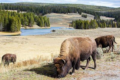 Yellowstone Wall Art - Photograph - Bison Grazing In Meadow In Yellowstone by Cameron MacPhail