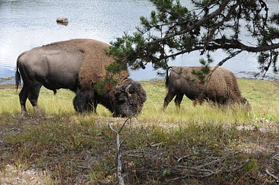 Wall Art - Photograph - Bison Grazing by Lee Raine