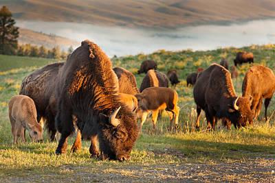 Bison Grazing Print by Shaun Schlager