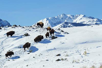 Bison Herd, Electric Peak Art Print by Ken Archer