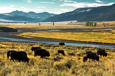 Bison Photograph - Bison Herd, Feeding, Lamar River, Lamar by Michel Hersen