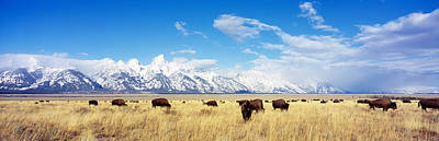 Bison Photograph - Bison Herd, Grand Teton National Park by Panoramic Images
