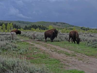 The Tetons Photograph - Bison Herd In The Tetons by Dan Sproul