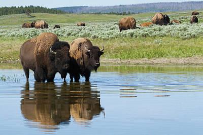 Bison Photograph - Bison Herd by Ken Archer