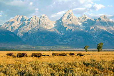 Photograph - Bison Herd by Nicholas Blackwell