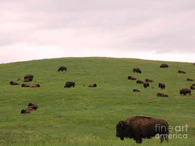 Bison Herd Art Print by Olivier Le Queinec