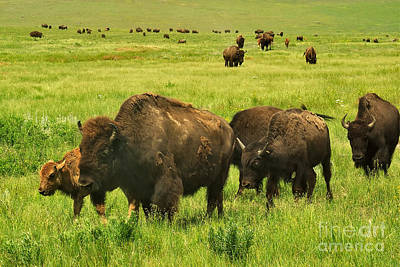 Photograph - Bison Herd On The Move by Charles Kozierok