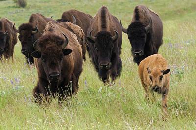 Bison Herd With Calf Art Print by Ken Archer