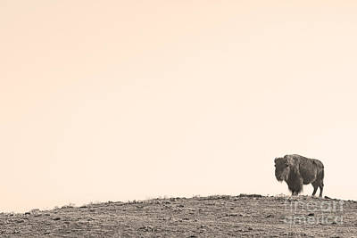 Bison Hill  Art Print by James BO  Insogna