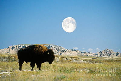 Bison In Badlands National Park Print by Mark Newman